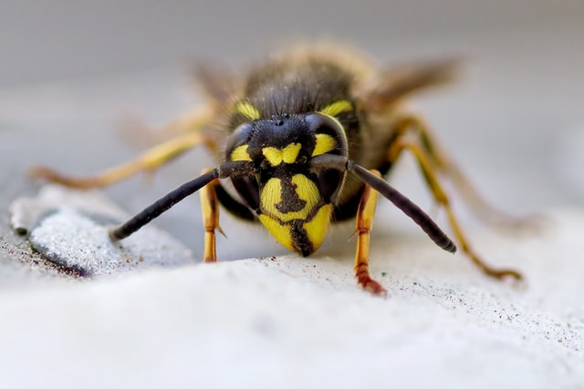 Picture of a wasp (to represent OWASP)